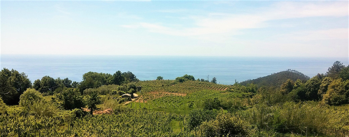 Bonassola vineyard